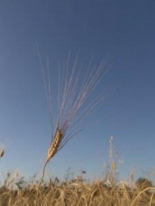I cereali si aprono verso la luce18.52 Le ariste sono come antenne per la luce La tenerezza è un'espressione del processo silicico.