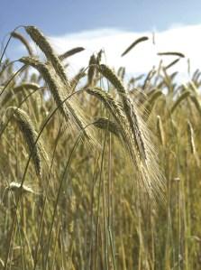 Cereali – un'atmosfera particolare e luminosa La tenerezza è un espressione del processo silicico